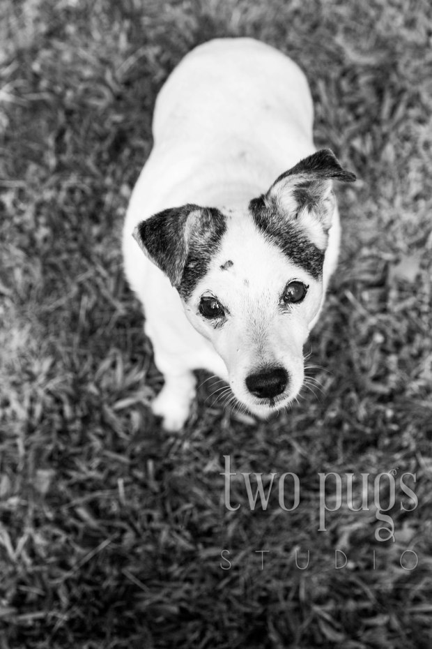 Marley the Jack Russell_0013